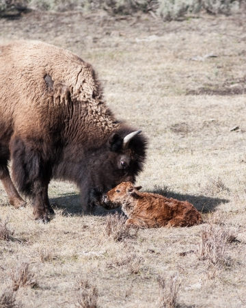 Mother bison and her new born calf