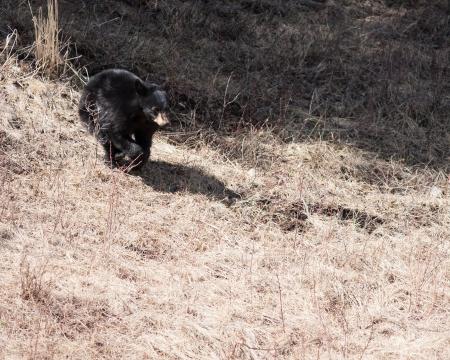 Black bear cub running in Yellowstone park