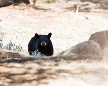 Black bear in Yellowstone national park Banco de Imagens