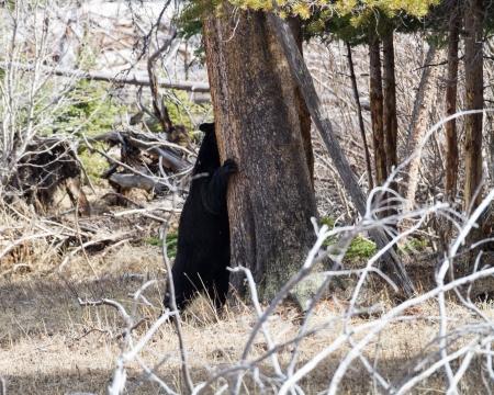 Black bear hugging a tree