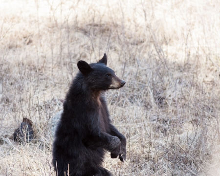 Black bear cub standing up in Yellowstone park Stock Photo