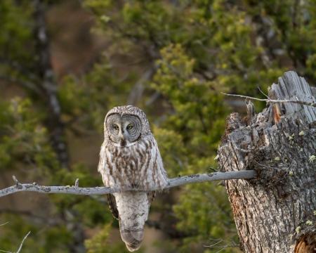 Great grey owl standing on a dead tree Banco de Imagens