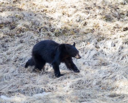 Black bear cub walking in Yellowstone park Banco de Imagens