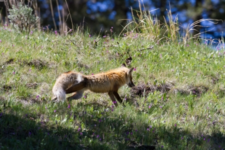 Close up of a fox streching in the middle of flowers  Banco de Imagens