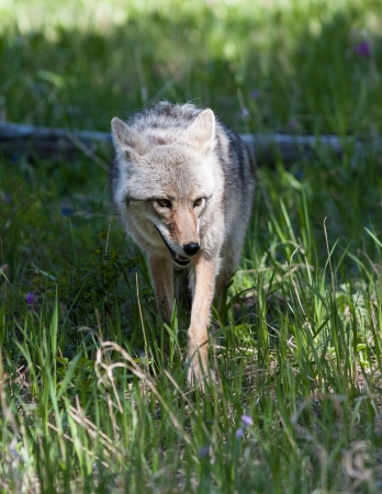 Close up of a coyote in Yellowstone