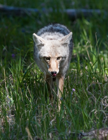 Close up of a coyote in Yellowstone Reklamní fotografie - 20314628