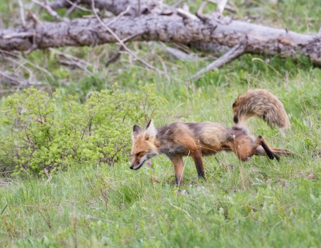 Red fox during spring in Yellowstone park  Banco de Imagens