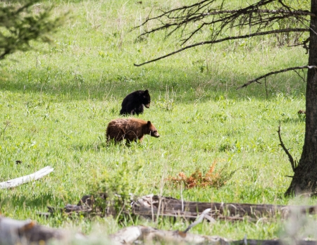 Black bear cubs during spring in Yellowstone
