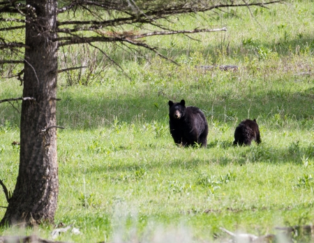 Black bear mother with cub