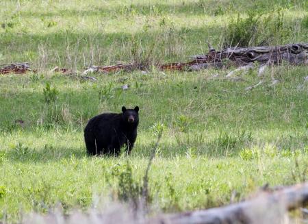 Black bear during spring in Yellowstone  Banco de Imagens