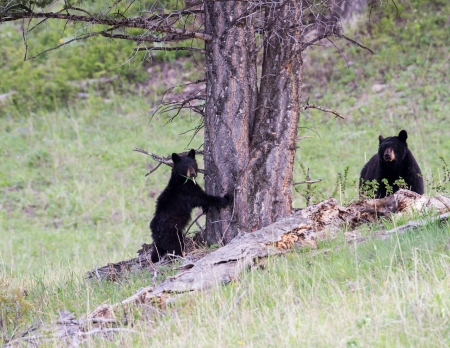 Black bear cub standing against a tree with his mother watching