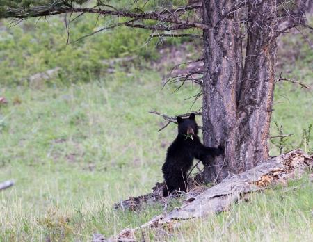 Black bear cub standing against a tree  Banco de Imagens