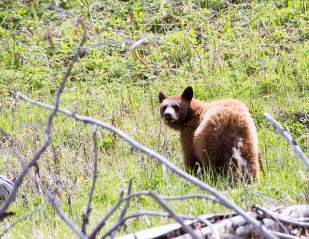 Black bear cub of cinnamon color