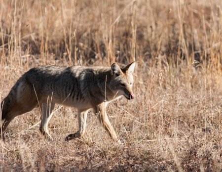 Coyote during fall in Yellowstone National Park Banco de Imagens
