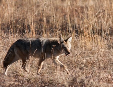 Coyote during fall in Yellowstone National Park Stock Photo