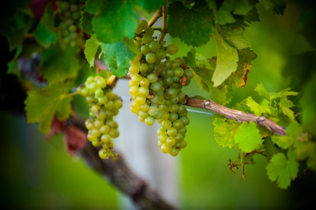 Clusters of grapes hanging on the vine.
