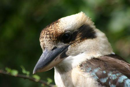 A kookaburra Stock Photo - 2677694