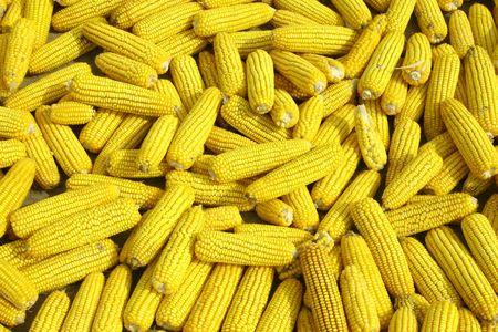 drying corn cobs: Yellow cobs of corn drying in the sun