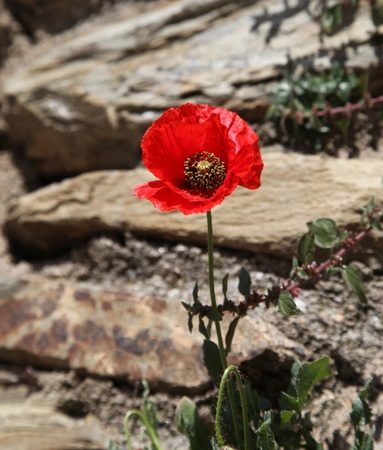 A single red poppy with blurred rocky background