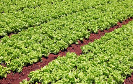 red soil: A field of lettuce growing in rich red soil. Dalat Vietnam