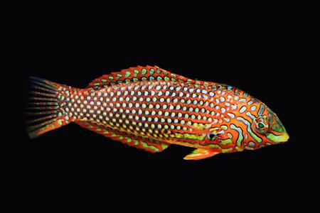 Reef fish isolated on black photo