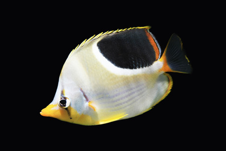 blue tang fish: Butterfly fish isolated on black Stock Photo