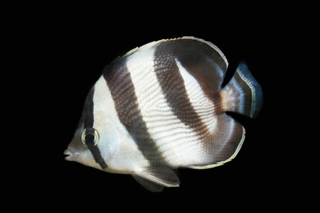 Butterfly fish isolated on black photo