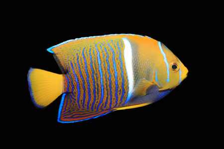blue tang fish: Angelfish isolated on black Stock Photo