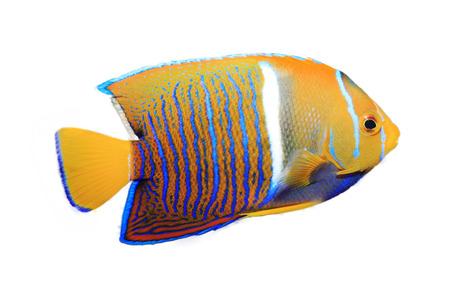 peces de acuario: Angelfish aislado en blanco Foto de archivo