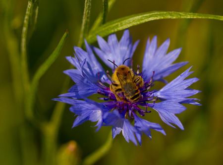 corn flower: Little bee on blue corn flower seen from above