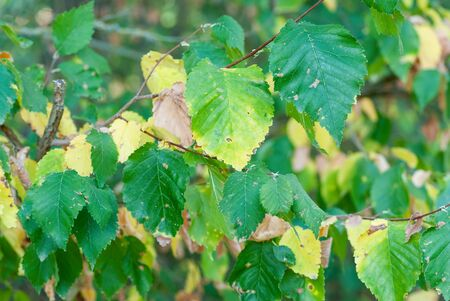 Smooth-leaf Elm Ulmus minor carpinifolia