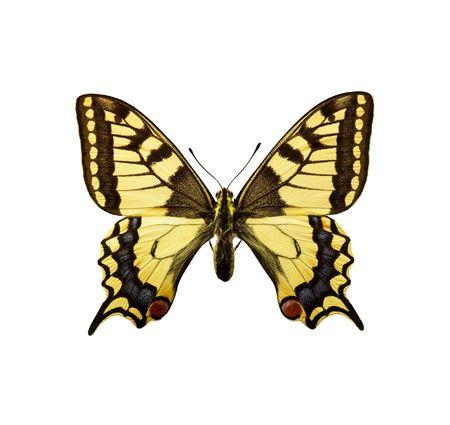 격리 된 나비 - Swallowtail 영국 레이스. 주로 노란 색 나방