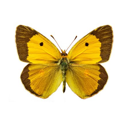 yellow butterflies: isolated moth - Clouded Yellow, Colias croceus butterfly