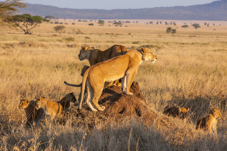female lion: A lion pride hunts as a family during sunrise in the Serengeti of Tanzania