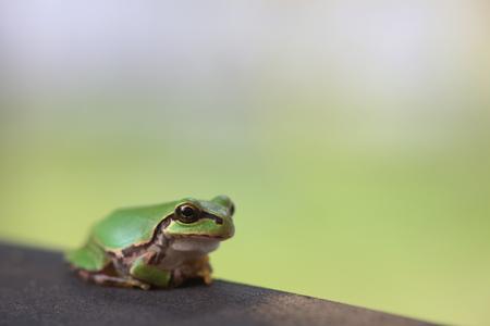 agalychnis: frog