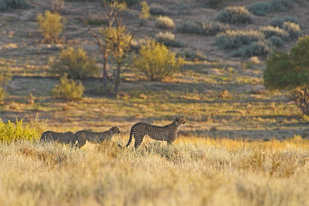 Cheetah family on the move.  Stock Photo