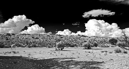 kgalagadi: A LONE GIRAFFE WALKING IN THE AUOB RIVER IN KGALAGADI TRANSFRONTIER PARK