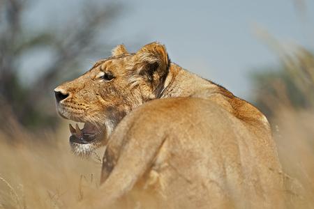 kgalagadi: Lion in the grass in Kgalagadi Transfrontier Park.