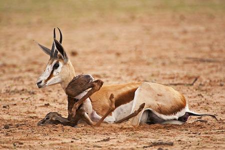 antidorcas: Baby springbok learning to walk in kgalagadi transfrontier park.