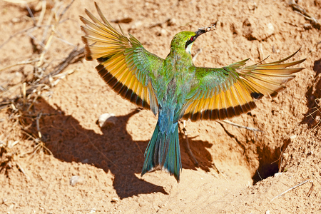 kgalagadi: Swallow-tailed bee-eater approaching her nest in Kgalagadi Transfrontier Park.