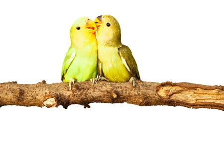 amigos abrazandose: P�jaros del amor en el fondo aislado