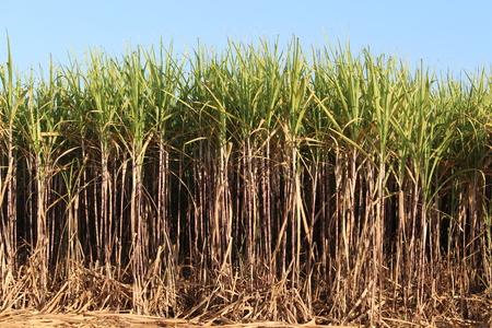 sugar cane farm: Prepare Sugarcane Field Stock Photo