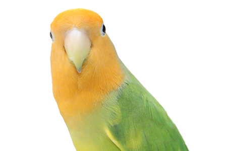 lovebird: Lovebird on isolated Stock Photo