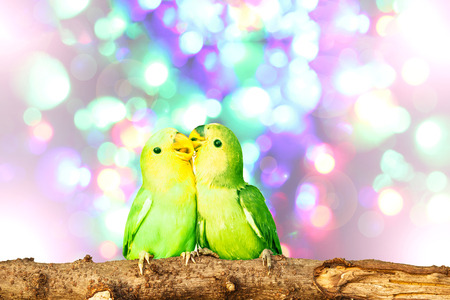 lovebird: lovebird on Blurred fairy lights background