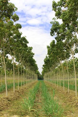 rubber: rubber plantation