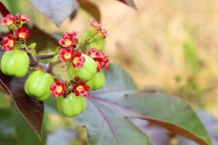Jatropha fruit for distill bio diesel
