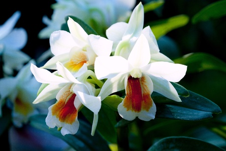 the species orchid of thailand