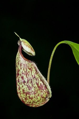 A pair of Wild Nepenthes mirabilis Monkey Cups with Visible Waterline on the sides