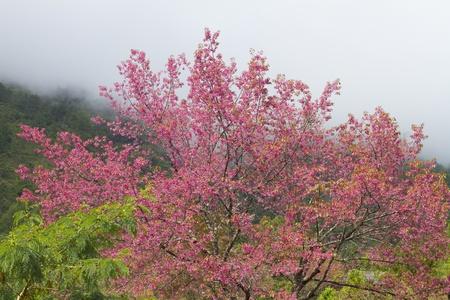Doi Inthanon National Park Sakura Thailand.