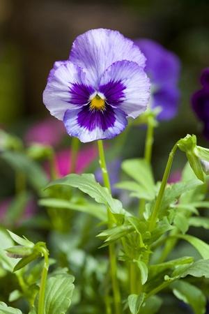 Beautiful tiny tricolored violas ( Heartsease or Johnny Jump Ups) photo